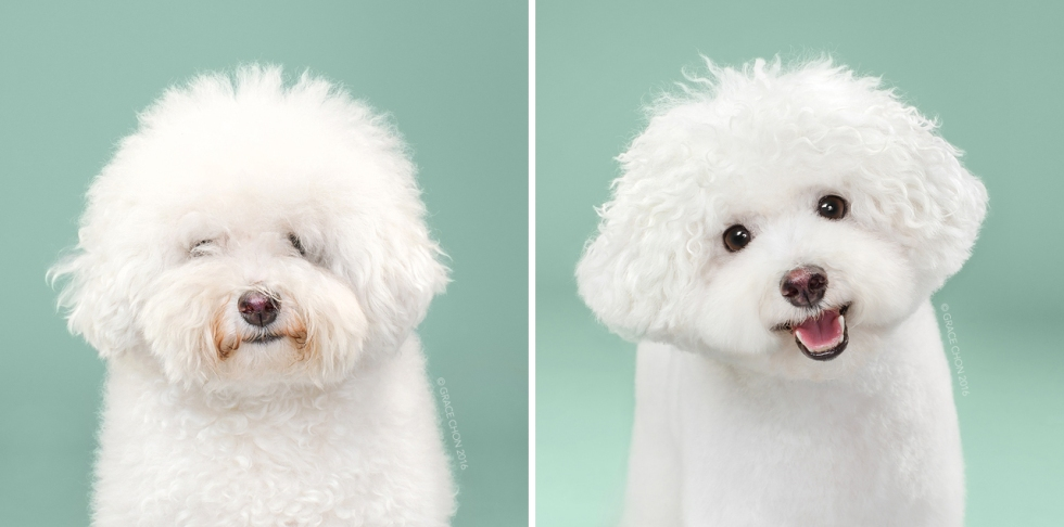 Herman_grace_chon_HAIRY_before_after_japanese_grooming_01.jpg