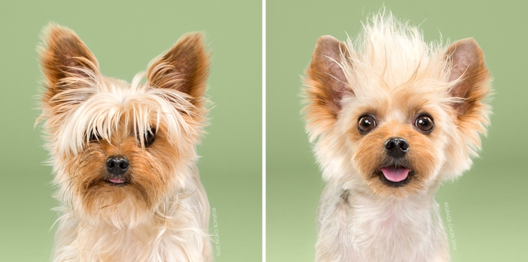 Teddy_grace_chon_HAIRY_before_after_japanese_grooming_01.jpg