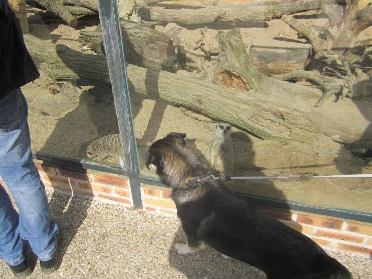 Naia et les suricates.JPG